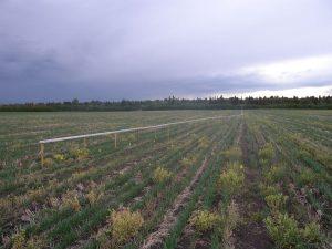 Edmonton Agricultural Fields - Barley Tram