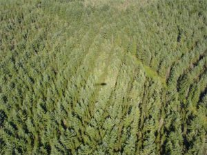 Oblique photograph of a Sitka spruce stand at Harwood Forest. The shadow of the helicopter is visible in the photograph, and the lighter area around this shows the 'hot-spot' effect. (Photo \u00a9 Mat Disney, NERC CTCD, 2005).